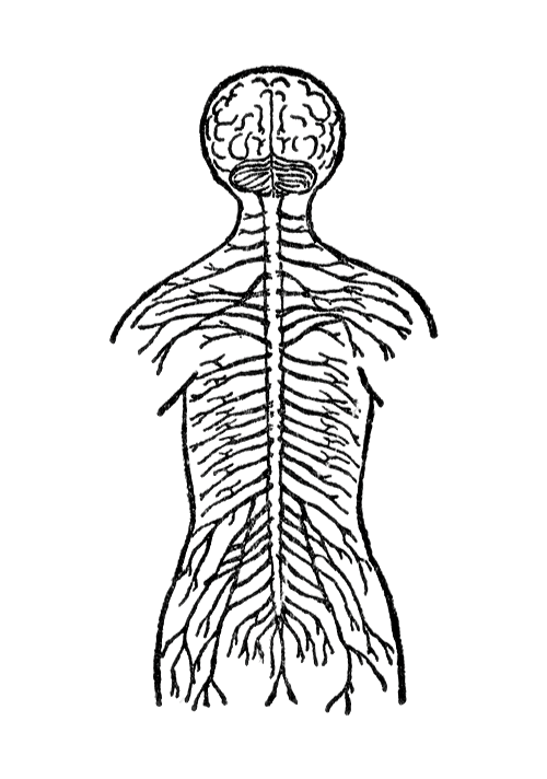 13357-vintage-illustration-of-the-human-nervous-system-pv