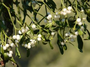mistletoe-berries-16395_960_720