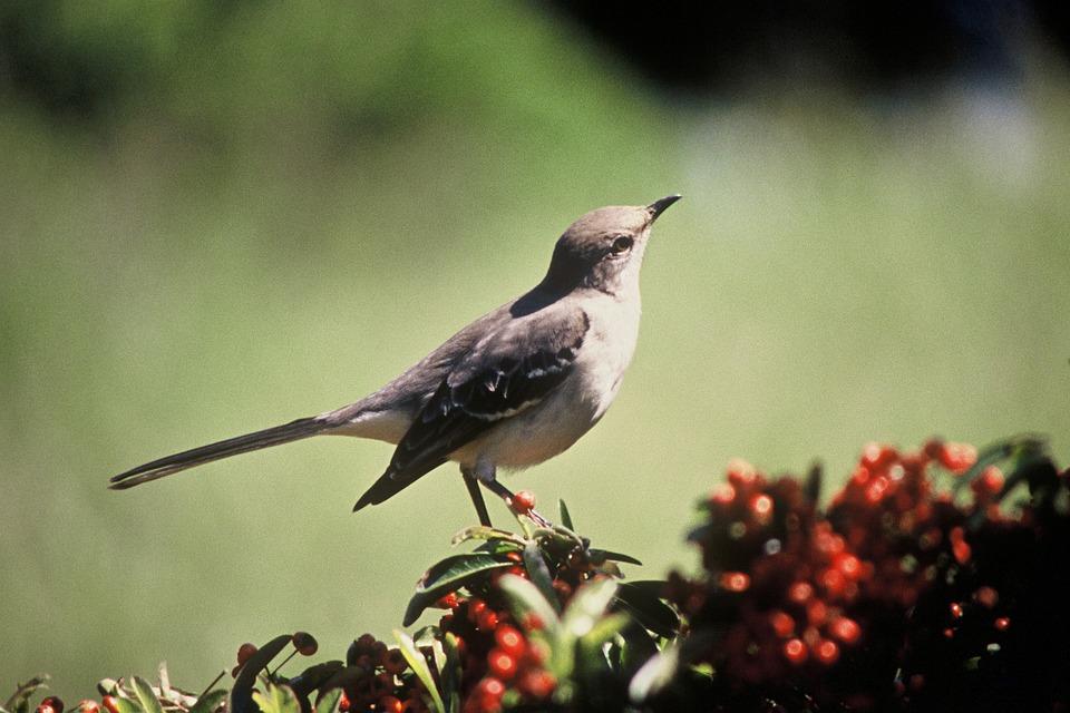 northern-mockingbird-541233_960_720